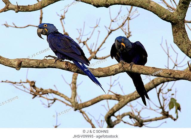 Hyacinth Macaw, Blue Macaw, (Anodorhynchus hyacinthinus), couple on tree, Pantanal, Mato Grosso, Brazil, South America