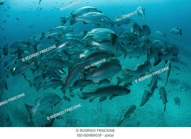 Snapper in ocean, Punta Baja, Baja California, Mexico