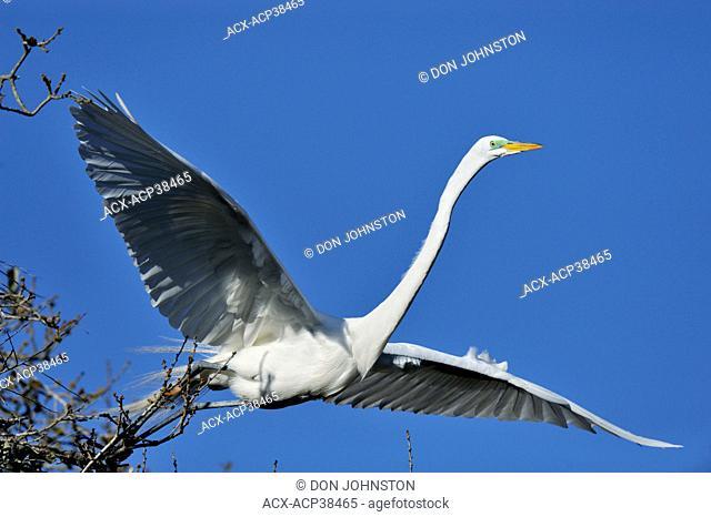 Great egret Casmerodius albus, Ardea alba, Egretta alba in flight, St. Augustine Alligator Farm Zoological Park, Florida, United States of America