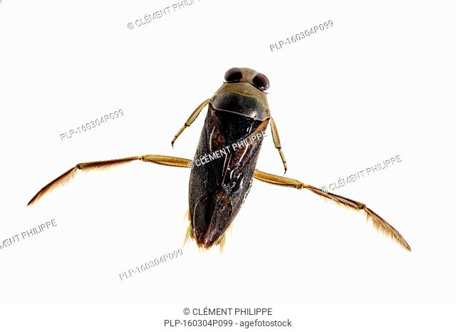Spotted backswimmer / Mottled backswimmer / Peppered water boatman (Notonecta maculata) on white background