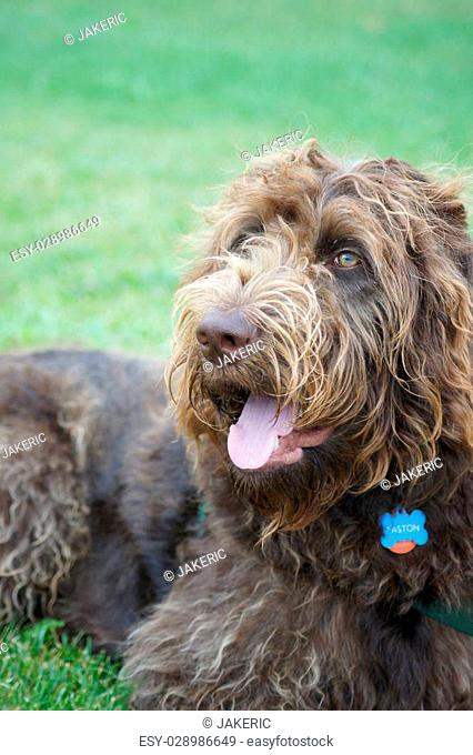 Labradoodle lying on the green grass, tongue out
