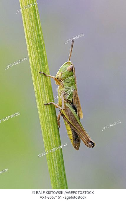 Meadow Grasshopper ( Chorthippus parallelus ) resting on a grass stem, detailed close-up, clean background, wildlife, Europe