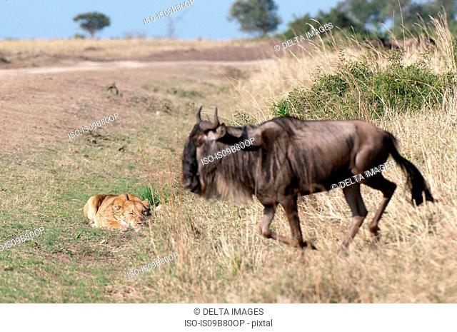 Lioness (Panthera leo) ready to attack a Wildebeest (Connochaetes taurinus), Masai Mara, Kenya