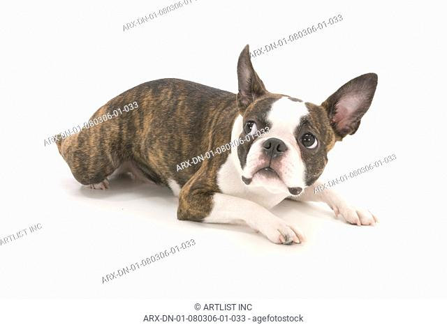 A dog lying down looking up