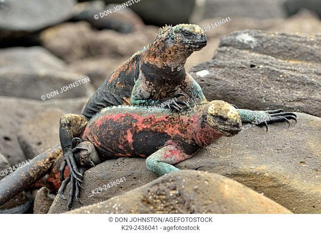 Marine iguana (Amblyrhynchus cristatus), Galapagos Islands National Park, Espanola (Hood) Island, Punta Suarez, Ecuador