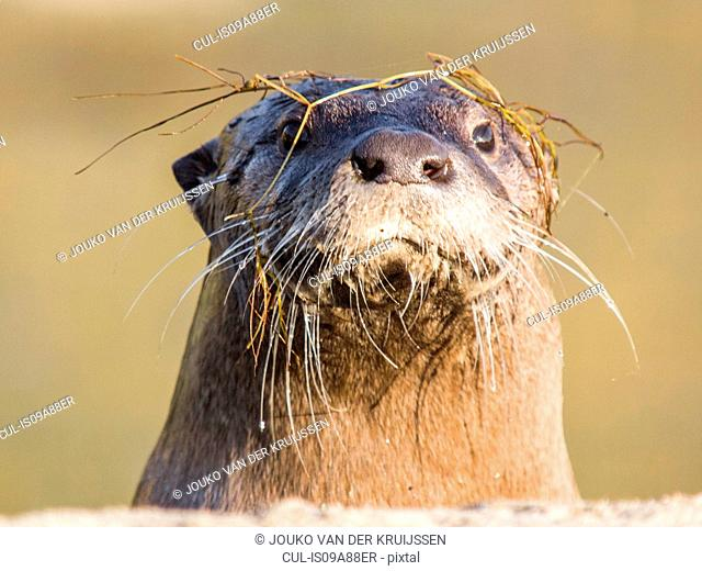 North American River Otter, Lontra canadensis, Sutro Sam, the only wild river otter in San Francisco