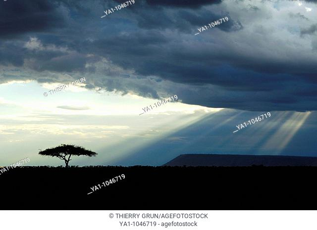 Thunderstorm clouds and sunbeams on Masai Mara National Park savannah. The tree is an acacia. Kenya