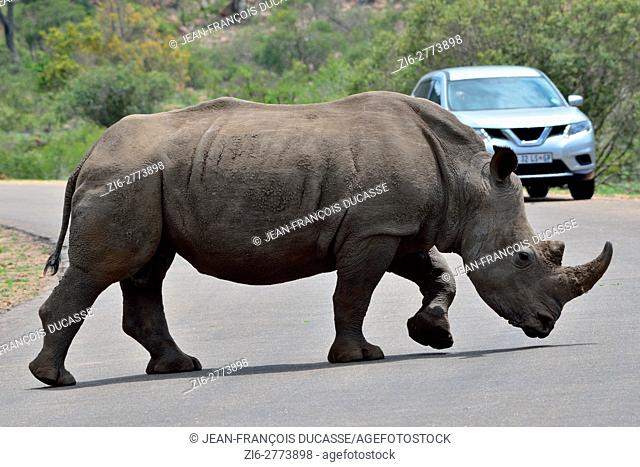 White rhinoceros or Square-lipped rhinoceros (Ceratotherium simum), adult male crossing a paved road, in front of a tourist vehicle, Kruger National Park