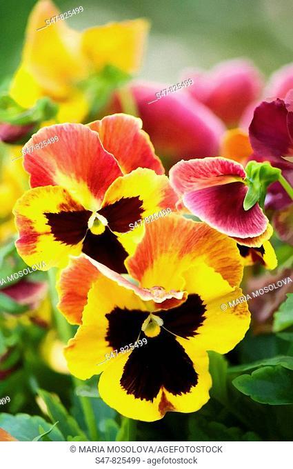Yellow Red Pansy Flowers. Viola x wittrockiana