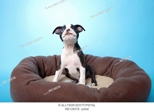 Boston terrier puppy in dog bed
