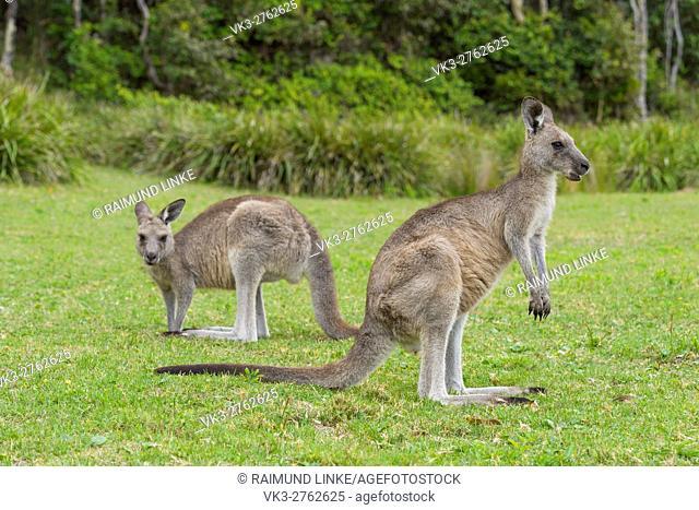 Grey Kangaroo, Macropus giganteus, two Animals, Murramarang National Park, New South Wales, Australia