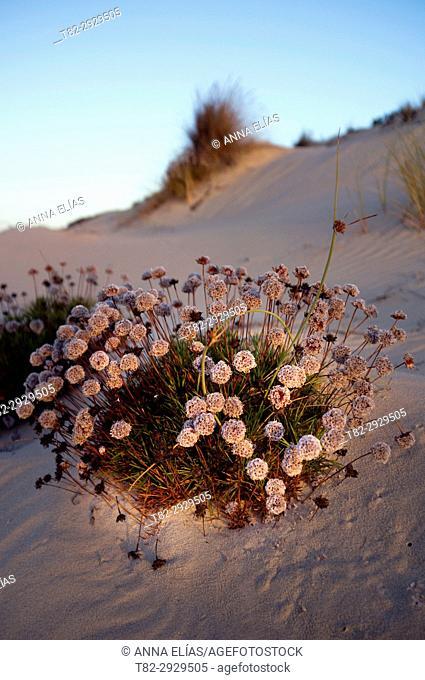 Armeria pungens plant, Doñana National Park, Huelva, Andalusia, Spain. Europe