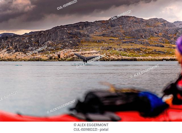 Tail of whale diving in sea, Narsaq, Vestgronland, Greenland