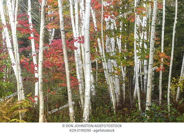 Birch tree trunks with autumn red maple in understory, Greater Sudbury, Ontario, Canada