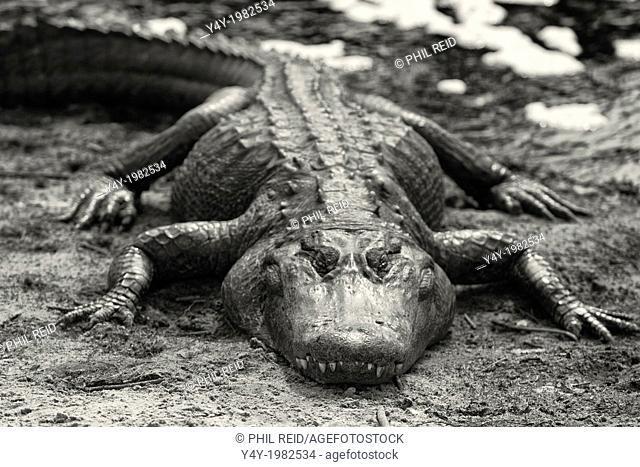 American alligator. Payne's Prarie State Preserve. Gainiesville, Florida, USA
