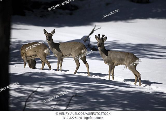 Roe deer in the snow (Capreolus capreolus), group, France