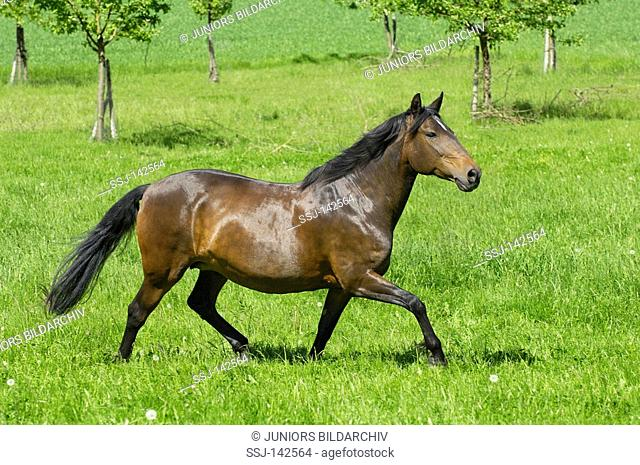 Lusitano horse mare