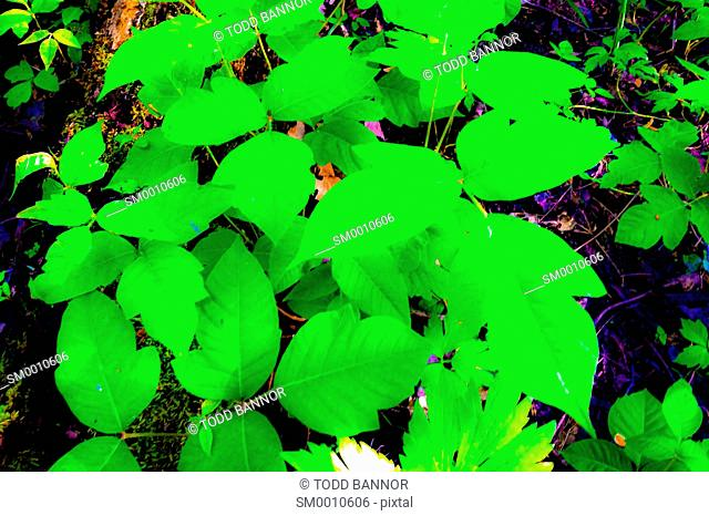 Poison ivy plant. Contact with skin can cause a severe allergic reaction