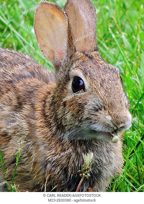 A rabbit chews on a small dandelion head, Pennsylvania, USA
