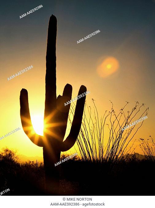 Saguaro Cactus at Sundown Saguaro Cactus Natl Monument Tucson, Arizona