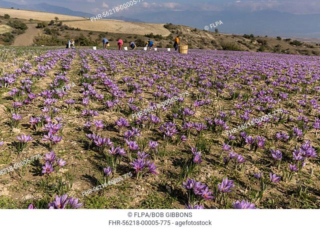 Saffron Crocus (Crocus sativus) crop, flowering in field with pickers during harvest season, near Kozani, Macedonia, Greece, October