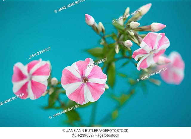 pink candy striped phlox flower stem - language of flowers ''our souls are united''