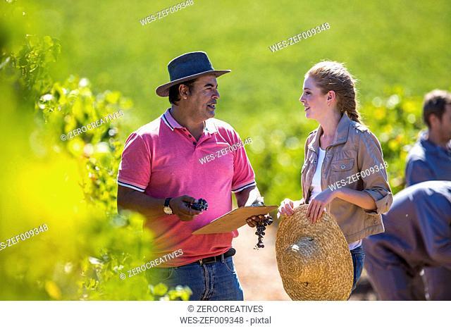 Man and woman in vineyard examining grapes
