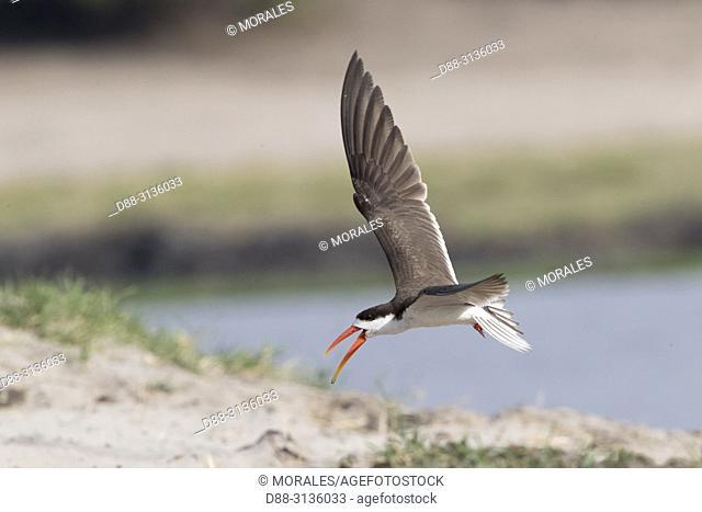 Africa, Southern Africa, Bostwana, Chobe i National Park, Chobe river, . African skimmer (Rynchops flavirostris)