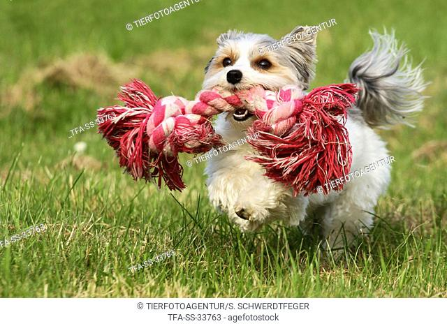 playing Biewer Yorkshire Terrier