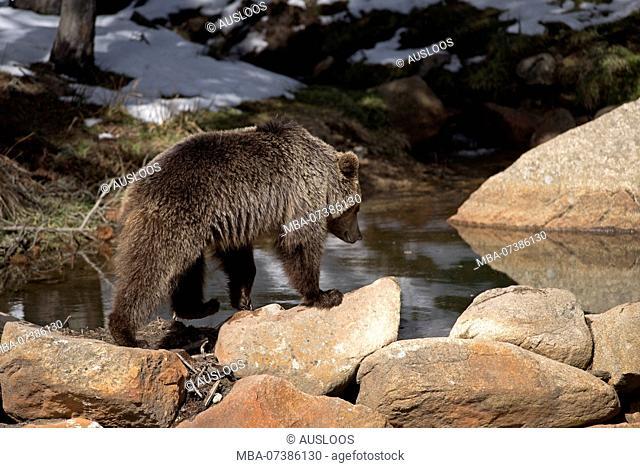 Brown bear end of winter (Ursus arctos), Pyrenean