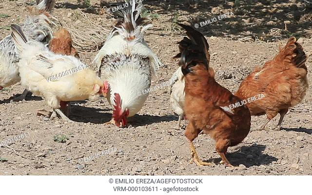 Chickens and hens in a farm. Lleida, Catalonia, Spain
