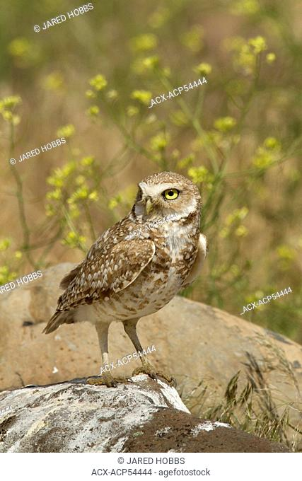 Burrowing Owl, Athene cunicularia, Ephrata, Washington, USA