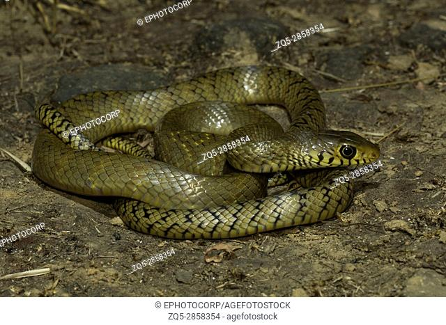 Rat snake, Ptyas mucosa , Aarey Milk Colony , INDIA. Ptyas mucosa, commonly known as the oriental ratsnake, Indian rat snake, 'darash' or dhaman