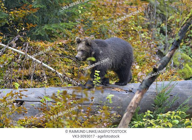 Brown bear, Ursus arctos, cub on tree trunk, Germany