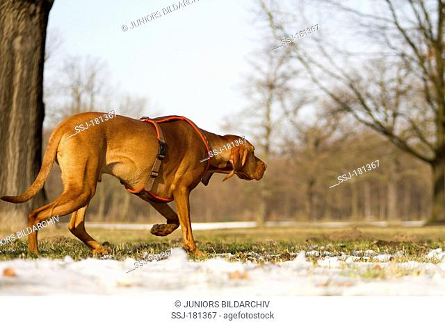 Smooth-haired Hungarian Vizsla (Canis lupus familiaris) walking on a snowy meadow