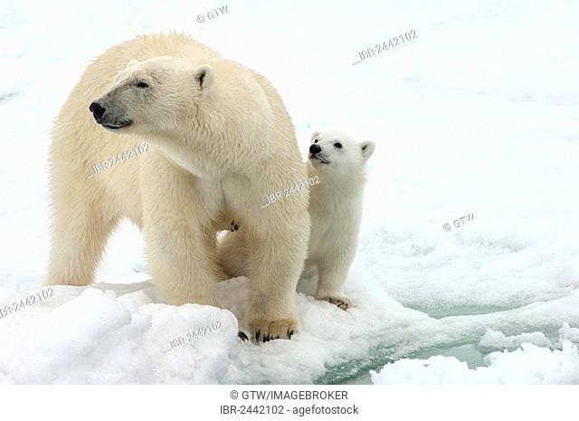Female Polar bear (Ursus maritimus) and cub, Svalbard Archipelago, Barents Sea, Norway, Europe