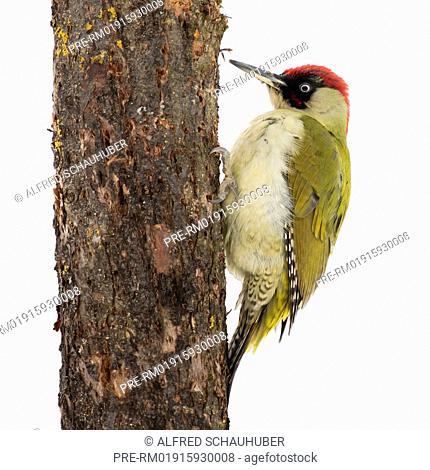 Green woodpecker, Picus viridis, Austria, Europe / Grünspecht, Picus viridis, Österreich, Europa, Europa
