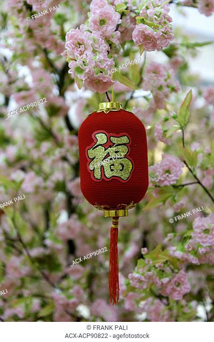 Chinese new year red lantern in a cherry blossum tree
