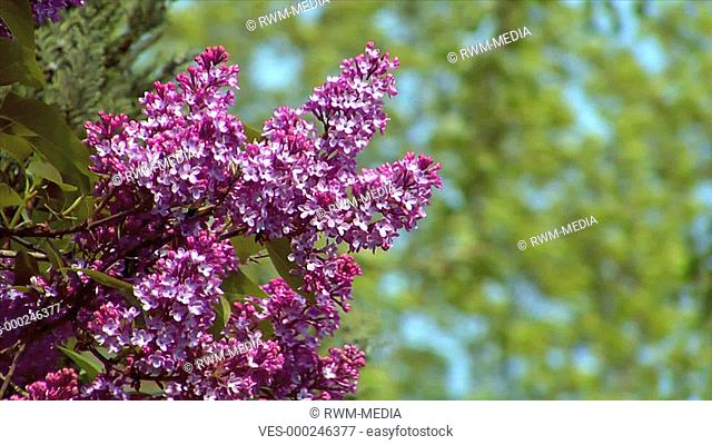A pink lilac with a blurred moving background