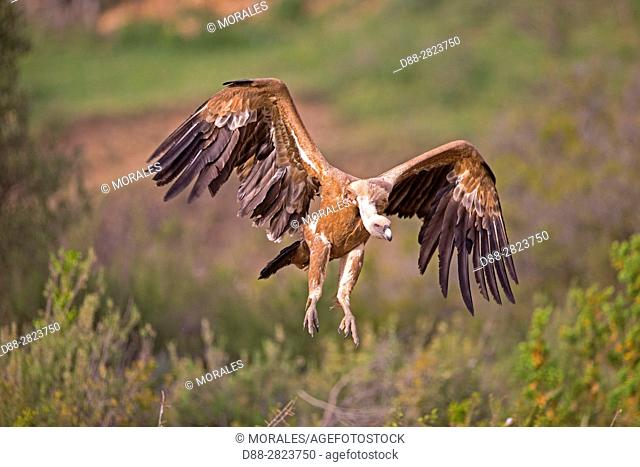 Europe, Spain, Province of Lleida, Eurasian Griffon Vulture (Gyps fulvus), landing