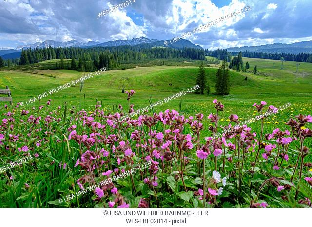 Germany, Bavaria, Upper Bavaria, Chiemgau, Winklmoosalm, Steinplatte and Loferer Steinberge, flowering red campions