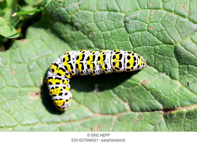 the bead of mullein moth (shargacucullia verbasci),a moth