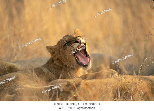 Lion cub yawing. Sabi Sabi Private Game Reserve. South Africa