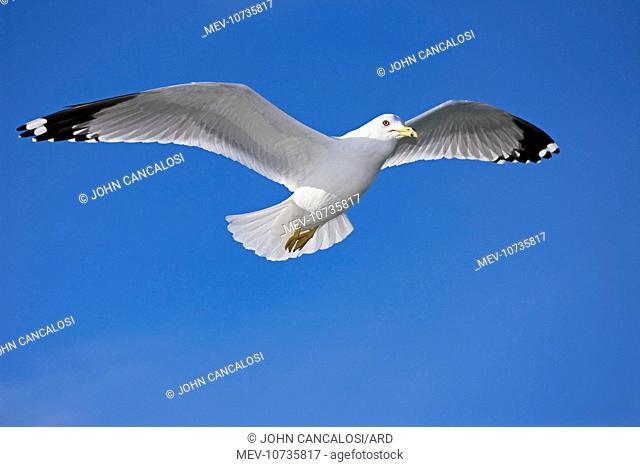 Ring-billed Gull - Adult soaring (Larus delawarensis)