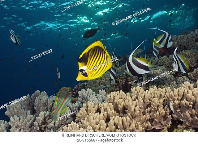 Red Sea Racoon Butterflyfish and Bannerfish, Chaetodon fasciatus, Brother Islands, Red Sea, Egypt