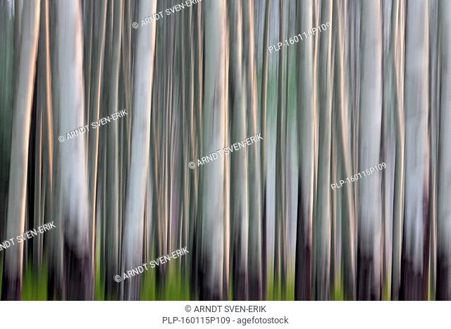 Abstract image of aspen tree trunks in forest