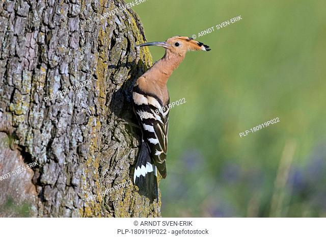 Eurasian hoopoe (Upupa epops) brings caught grub prey to chicks in nest in hollow tree in spring