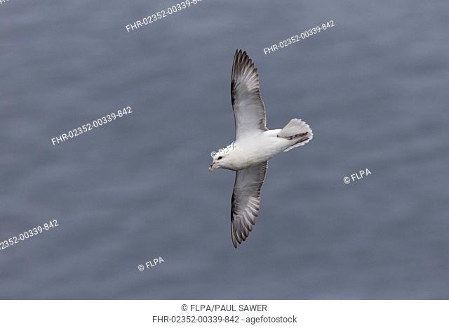 Northern Fulmar (Fulmarus glacialis) adult, in flight over sea, Shetland Islands, Scotland, June