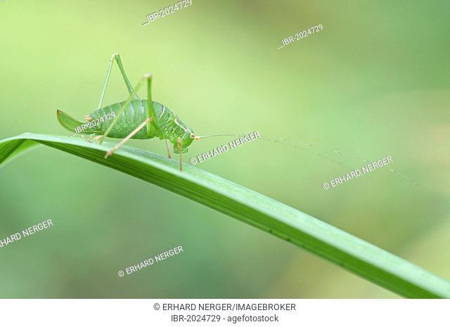Speckled Bush Cricket (Leptophyes punctatissima), Haren, Emsland, Lower Saxony, Germany, Europe