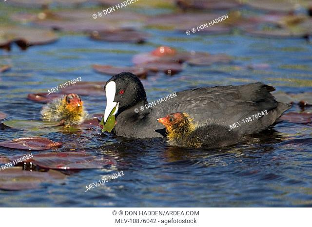 Eurasian Coot - adult with newly hatched chicks on Hamilton Lake (Fulica atra). North Island, New Zealand